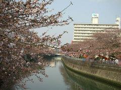 井土ヶ谷橋から大岡川沿いの桜