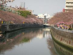 井土ヶ谷橋から大岡川沿いの桜2