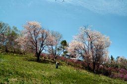 熱心に桜を撮影するカメラマン