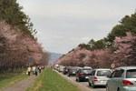 静内二十間桜並木