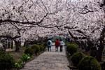 札幌市 個人宅の梅のトンネル
