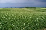 親子の木の近くのジャガイモ畑2006070807.jpg